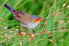 considering for my home; orange cheeked finches