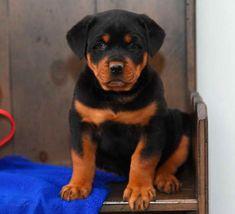 Craigslist Rottweiler Puppies For Sale Petsidi Belgian Malinois