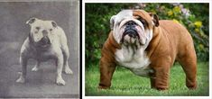 """100 years of breed """"improvement"""" -- the genetic disasters that are some of our dog breeds as we know them today..."""