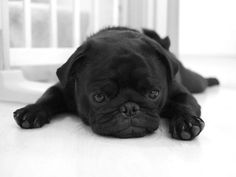 Cute Black Pug Wallpaper Screensaver Background Baby Animals Animal Babies Funny
