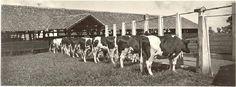 """Elektrisch melkveebedrijf, modelboerderij """"Generaal de Wit"""", Cimahi, Java, Indonesië (1919-1930)"""