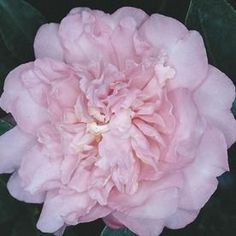 Pink Debutante Camellia Flowering Shrub In Pot (With Soil) Debutante - Modern