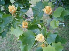 Tulppaanipuu http://puutarha.net/keskustelu/aihekuva.asp?id=383228
