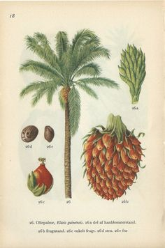 Danish Antique Botanical Print African Oil Palm by PaperSymphony
