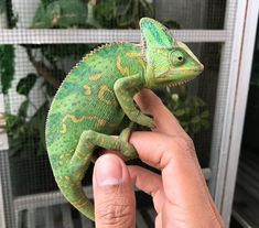 500 Best Reptile Names for Snakes, Lizards, Turtles and Reptiles Names, Les Reptiles, Cute Reptiles, Reptiles And Amphibians, Chameleon Care, Baby Chameleon, Veiled Chameleon, Leopard Gecko Cute, Rabbit Cages