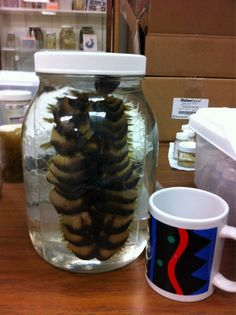 Giant scale worm: Eulagisca is native to the Arctic. Scientist and Deep Sea News blogger Miriam Goldstein found him in the Scripps Benthic Invertebrate Collection. Check out his size compared to the coffee cup, and tremble.    Not scared yet? Let's talk about the jaws of the scale worm. Here's something that many scale worm species share—mouths that make them look like extras from Aliens.