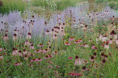 Salvia Misacanthus and Echinea
