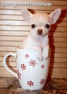 Spunkypaws Chihuahuas - Pup in a cup! www.facebook.com/spunkypaws Chihuahua Breeders, Chihuahuas, Cute Puppies, Cute Dogs, Dogs And Puppies, Teacup Chihuahua, Yorkie, Little Dogs, Beautiful Dogs