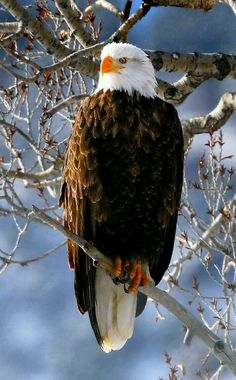 Wilde Natur - Weißkopfseeadler in Aspen Colorado. - durch Larry Bennett - Margaret Worsham - - Wilde Natur - Weißkopfseeadler in Aspen Colorado. Types Of Eagles, The Eagles, Bald Eagles, Pretty Birds, Beautiful Birds, Animals Beautiful, Eagle Pictures, Bird Pictures, Nature Animals