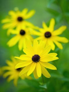 Sweet Black Eyed Susans (Rudbeckia subtomentosa) - 12 Types of Prairie Meadow Plants on HGTV