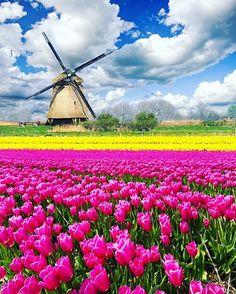 """268 curtidas, 4 comentários - Blog & Agência de Viagens 🌍 (@tgpviagensoficial) no Instagram: """"✖️✖️✖️Keukenhof, também conhecida como Jardim da Europa, situada perto de Lisse, nos Países Baixos.…"""""""