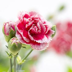 You Are a Carnation  You are down to earth and grounded. You tend to be more traditional than trendy. Your confidence gets you through anything. People trust you and are very loyal to you.