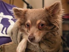 Adopt Milton, a lovely 3 years 1 month Dog available for adoption at Petango.com. Milton is a Chihuahua, Short Coat / Mix and is available at the National Mill Dog Rescue in Colorado Springs, Co. www.milldogrescue.org #adoptdontshop #puppymilldog #rescue #adoptyourfriendtoday