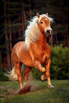 10 Most Beautiful Horse Breeds In The World Caballo Haflinger, Haflinger Horse, Most Beautiful Horses, All The Pretty Horses, Animals Beautiful, Horse Photos, Horse Pictures, Animals And Pets, Cute Animals