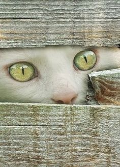 a quieter storm | white cat; fence; beautiful green eyes