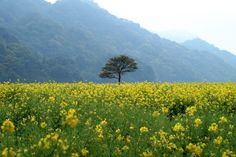 Yellow fields of Pakistan.