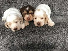 We have available 3 beautiful pups bred from our well loved and cared for family pet Stella. Pups have been brought up in my kitchen so well socialise Baby Dogs, Pet Dogs, Dogs And Puppies, Pets, Pet Breeds, Puppy Breeds, Chocolate Cocker Spaniel, Cocker Spaniel Breeds