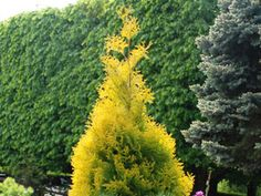 Thuja Yellow Ribbon Compact Hedge Plant grows tall Yellow Ribbon Arborvitae thrives in sun and part shade Highly fragrant foliage Easily adapts to sandy or heavy clay soils with good drainage Plant 2 apart for fast hedge Flowering Shrubs, Trees And Shrubs, Evergreen Hedge, Landscaping Trees, Living Fence, Clay Soil, Shade Plants, Hedges, Amazing Gardens