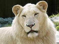 The white lion is occasionally found in wildlife reserves in South Africa and is a rare colour mutation of the Kruger subspecies of lion (Panthera leo krugeri).
