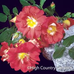'Caramba' tall groundcover rose with large, bi-colored flowers of salmon-copper petals with a yellow eye in the center. Blooming initially in late spring-early summer, re-blooms through summer. fragrant and is highly pest and disease resistant. Also known as Rosa x 'Tanabamar'.