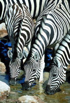 Zebras drinking by Paul Goldstein