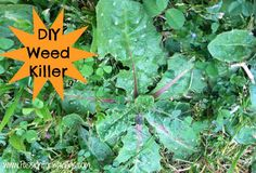 Find out how to make DIY Weed Killer with no harsh chemicals that you can make yourself at home and save money!