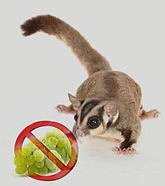 19 Best Of Sugar Glider Color Chart