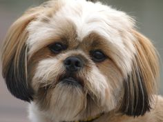 lhasa apso, my dogs (Apple & Tammy). Lhasa Apso Puppies, Boxer Puppies, Dogs And Puppies, Doggies, Little Dogs, Big Dogs, Cute Dogs, Adorable Puppies, Small Dogs