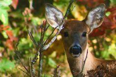 Doe, A Deer! (A Female Deer)