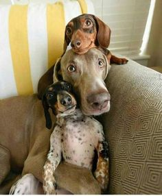 Aww, such cute dogs doing the family photo ツ ♥ Dachshund Funny, Dachshund Love, Daschund, Animals And Pets, Funny Animals, Cute Animals, Brown Puppies, Cute Puppies, Beautiful Dogs