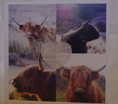 Blank Highland Cattle Greetings Card with by murneilidhkate