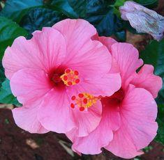 Hibiscus. My home Garden  15.12.2017. Pune. India.