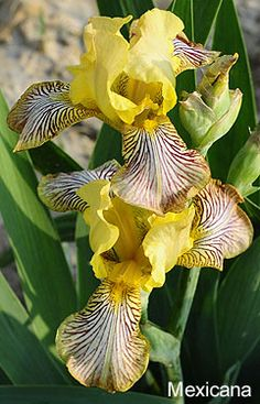 """Iris 'Mexicana', 1859, 18"""" H, Acc: 141745."""