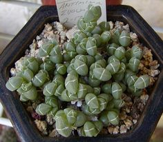 Antimima evoluta, a mesemb grown from seed.