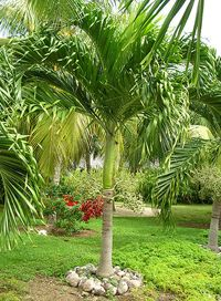 Adonidia Palm or Christmas Palm tree