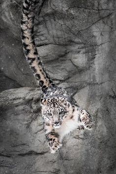 Snow Leopard. Photo by Abeselom Zerit
