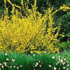 Yellow Forsythia Bush  & Daffodils