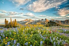 Rainier Meadows - Another favorite of mine from 2012's incredible bloom in the meadows of Mount Rainier National Park. No matter the angle, the light was incredible. Looking south, the view of the Tatoosh range is just one of the many highlights of this park's incredible vistas and trails.