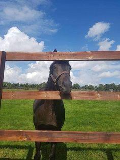 Golden Horn, Horses, Animals, Animales, Animaux, Animal, Animais, Horse