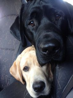 yellow and black lab