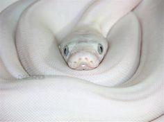 so gorgeous!  #snake #animals #white
