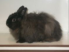 Rabbit - Angora Rodents, Rabbits, Mammals, Bird, Rabbit, Birds, Bunnies, Hare, Bunny