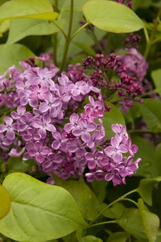 Pocahontas Canadian Lilac extends the lilac season with this extremely hardy, early blooming variety. Deep maroon-purple buds open to fragrant, deep violet blooms 7 to 10 days before common lilac varieties in early May. Garden Shrubs, Flowering Shrubs, Landscaping Plants, Trees And Shrubs, Early Spring Flowers, Spring Blooms, Lilac Varieties, Lilac Tree, Landscaping