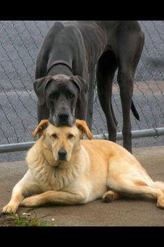 Great Dane Labrador