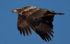 An immature bald eagle flies over Branched Oak Lake in Nebraska. Bald Eagles mature in their fifth year. By: MARK DAVIS/THE WORLD-HERALD