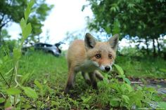Red Fox Cub by Hiradate R. - National Geographic Your Shot