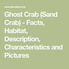 Ghost Crab (Sand Crab) - Facts, Habitat, Description, Characteristics and Pictures