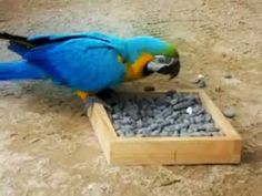 Parrot beaks are designed for manipulating things to get food, e.g. cracking open nuts, de-husking seeds and foraging through substrates. Keepers place food in a tray of pebbles to encourage our macaws to use their beak to forage to get to the food.