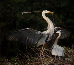 """""""Building a Nest"""" by Carol Eade, Best of Show Winner, 2014 Native Bird Photo Contest – à Flamingo Gardens."""