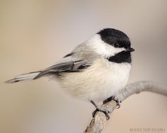 Chickadee Print Nature Photography Wildlife by RockyTopPrintShop, $25.00